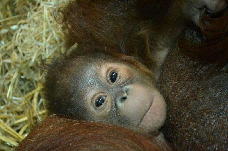 4 orangutan