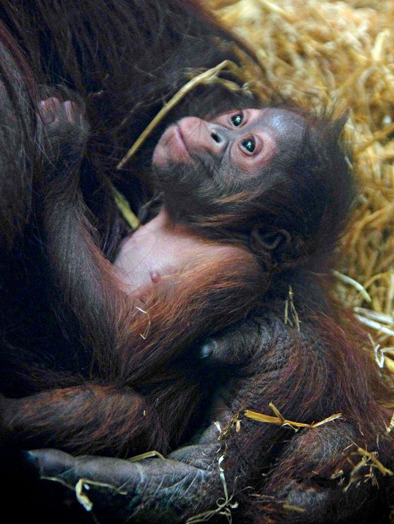 3 orangutan