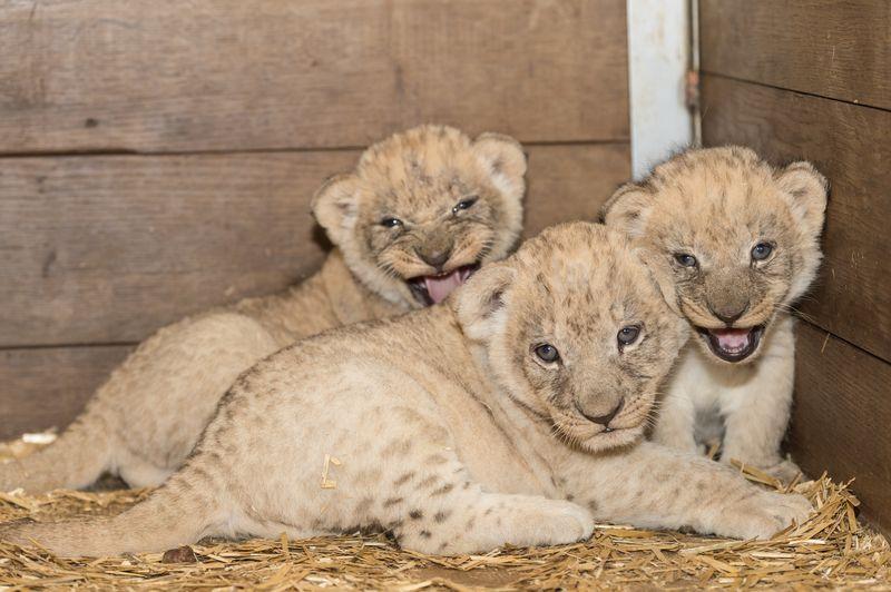 7 lion
