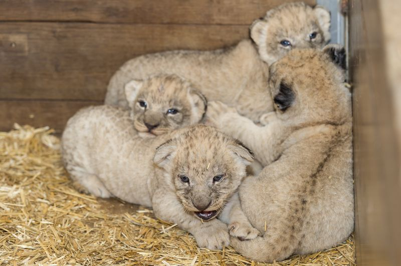 5 lion