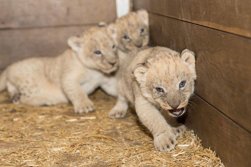 9 lion