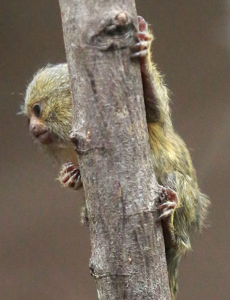 (4)  You can support the care of Belfast Zoo_s pygmy marmosets by taking part in the animal adoption scheme.