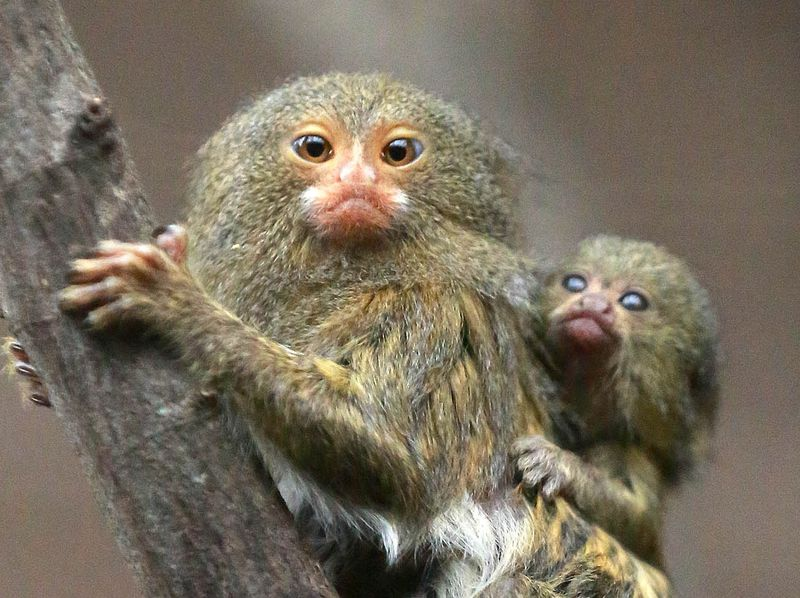 (5)  You can see the pygmy marmosets in the gorilla house at Belfast Zoo.
