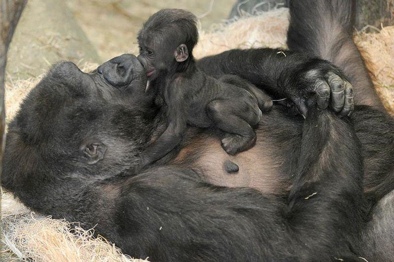 2 gorilla