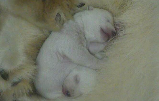 1 polar bear