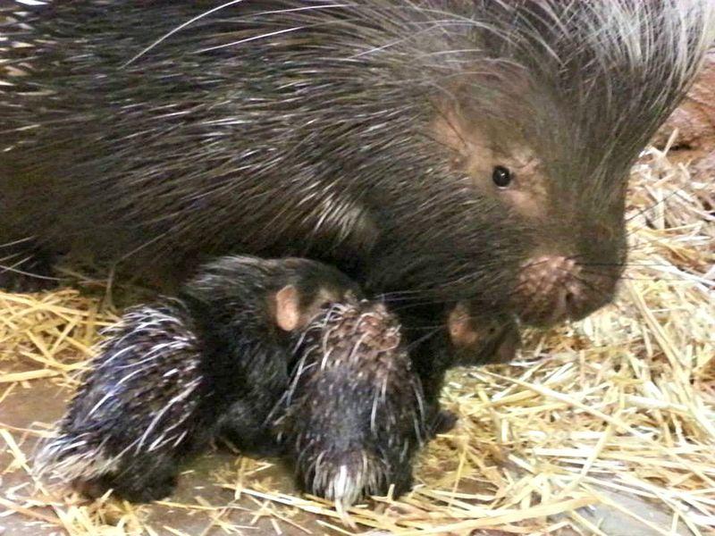 2 porcupine