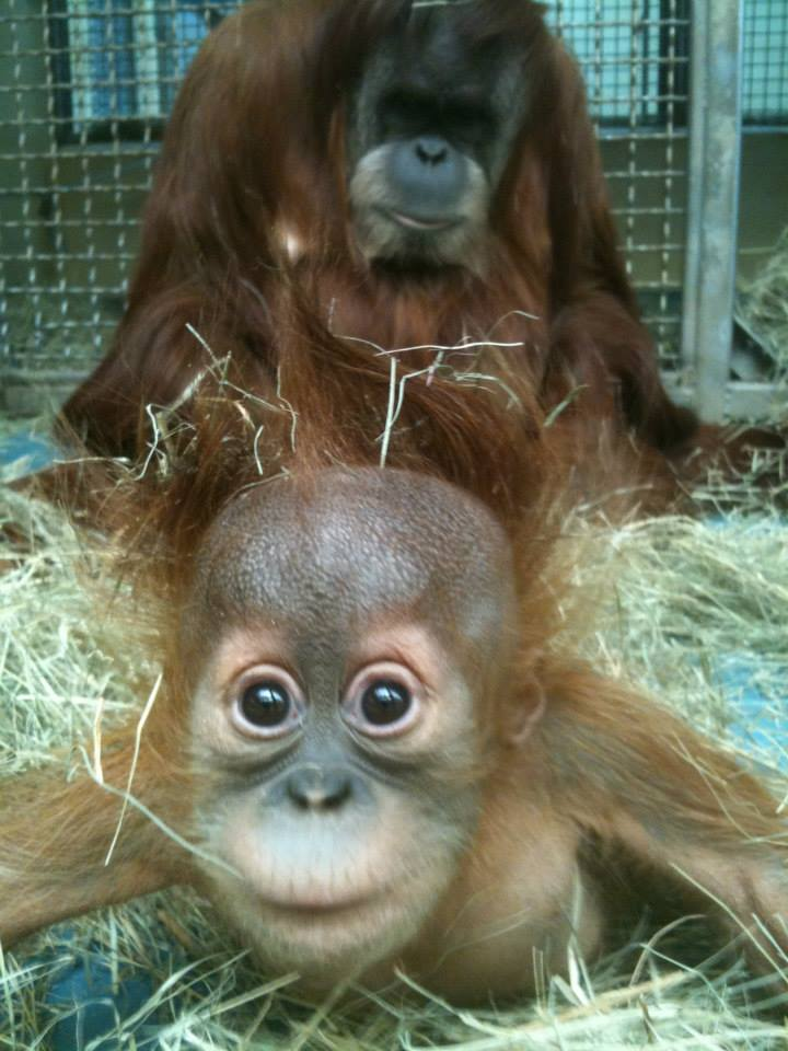 10 orangutan