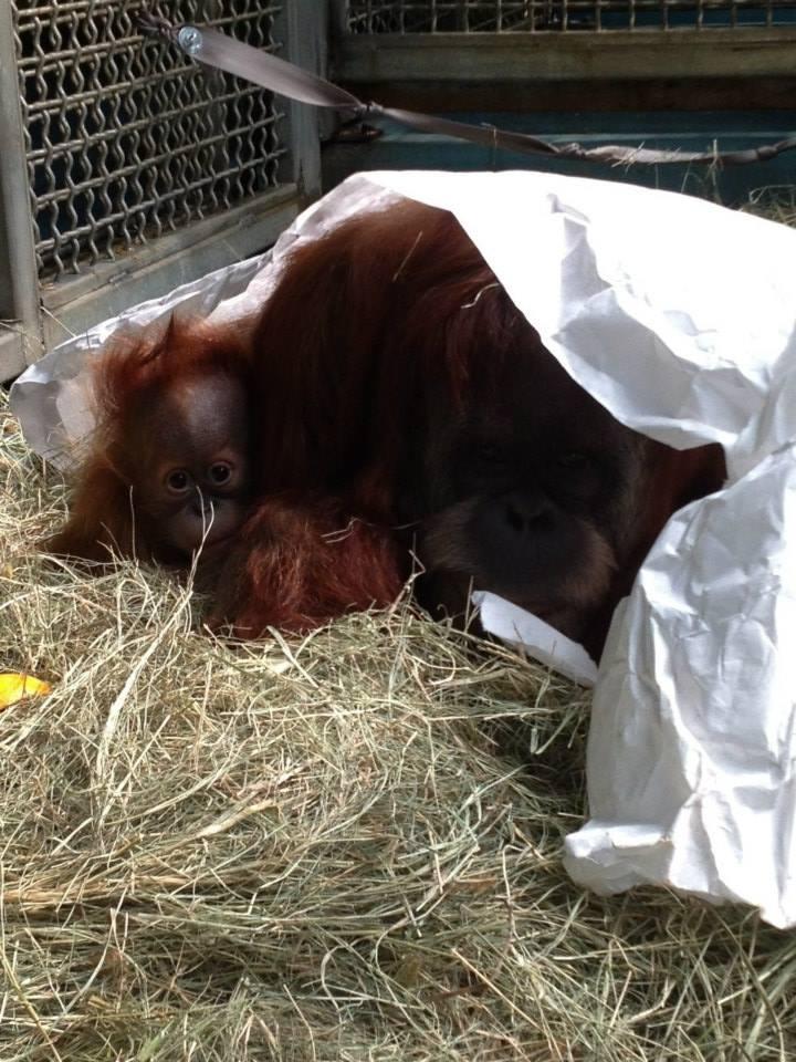 11 orangutan