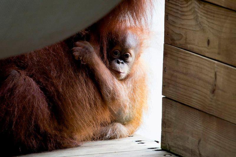 14 orangutan