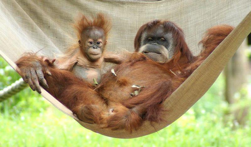 15 orangutan