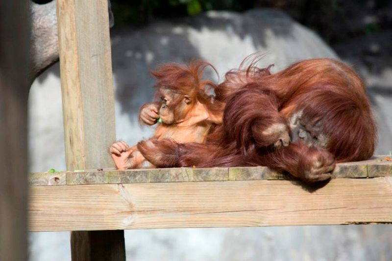 16 orangutan