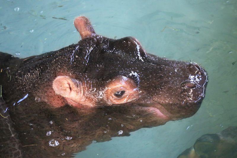 1 hippo