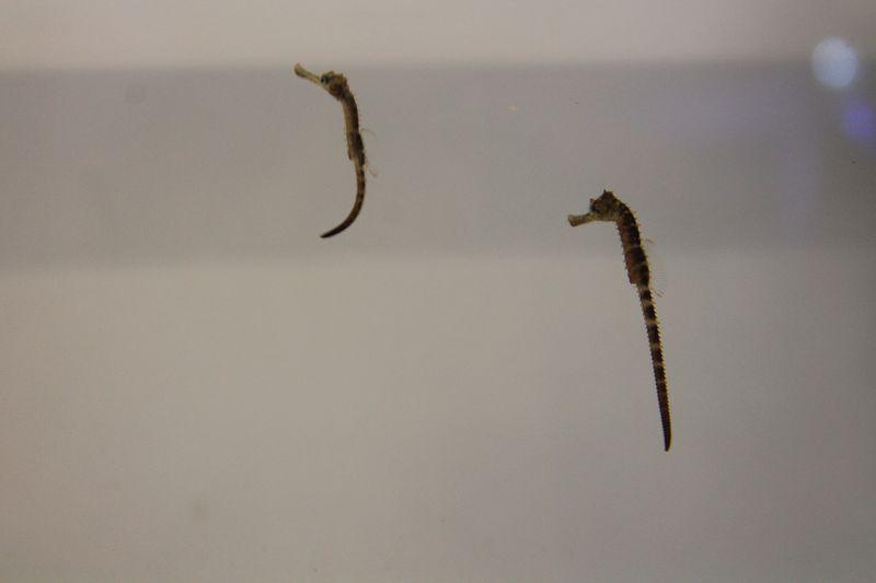 4 seahorse