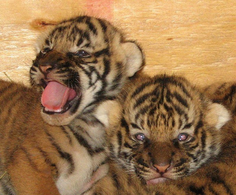 Tiger Cubs1