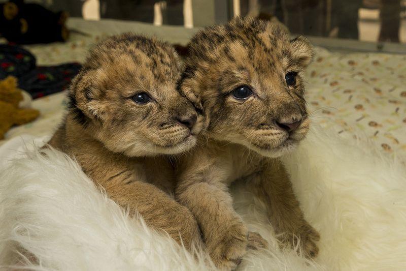LionCubsSafariPark_004_Web
