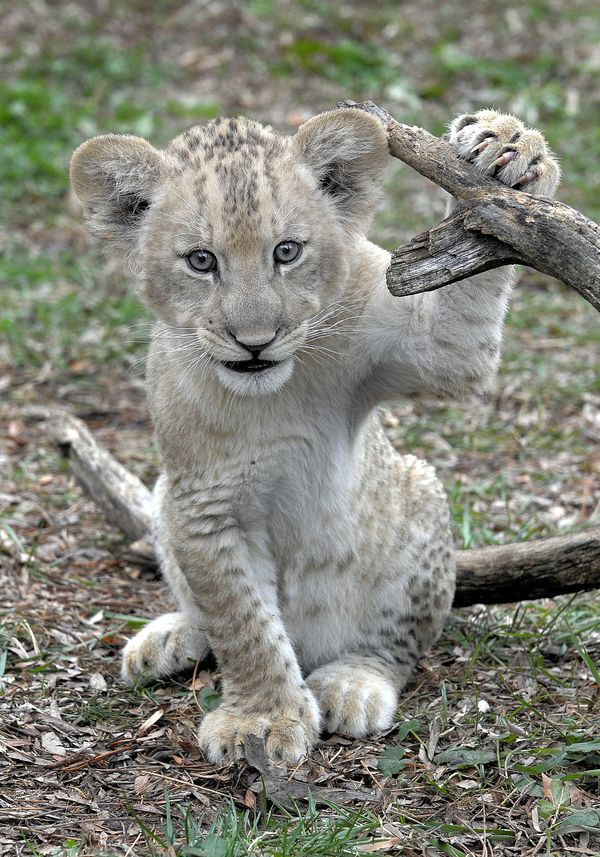 UPDATE! Help Name Maryland Zoo's Lion Cubs