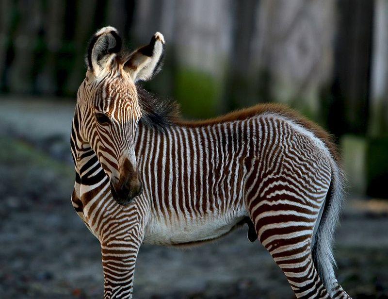 1 zebra