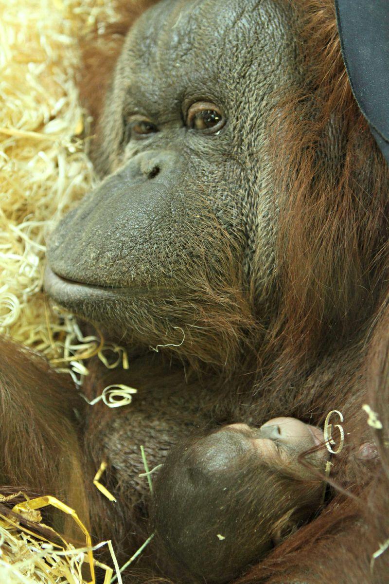 7 orangutan