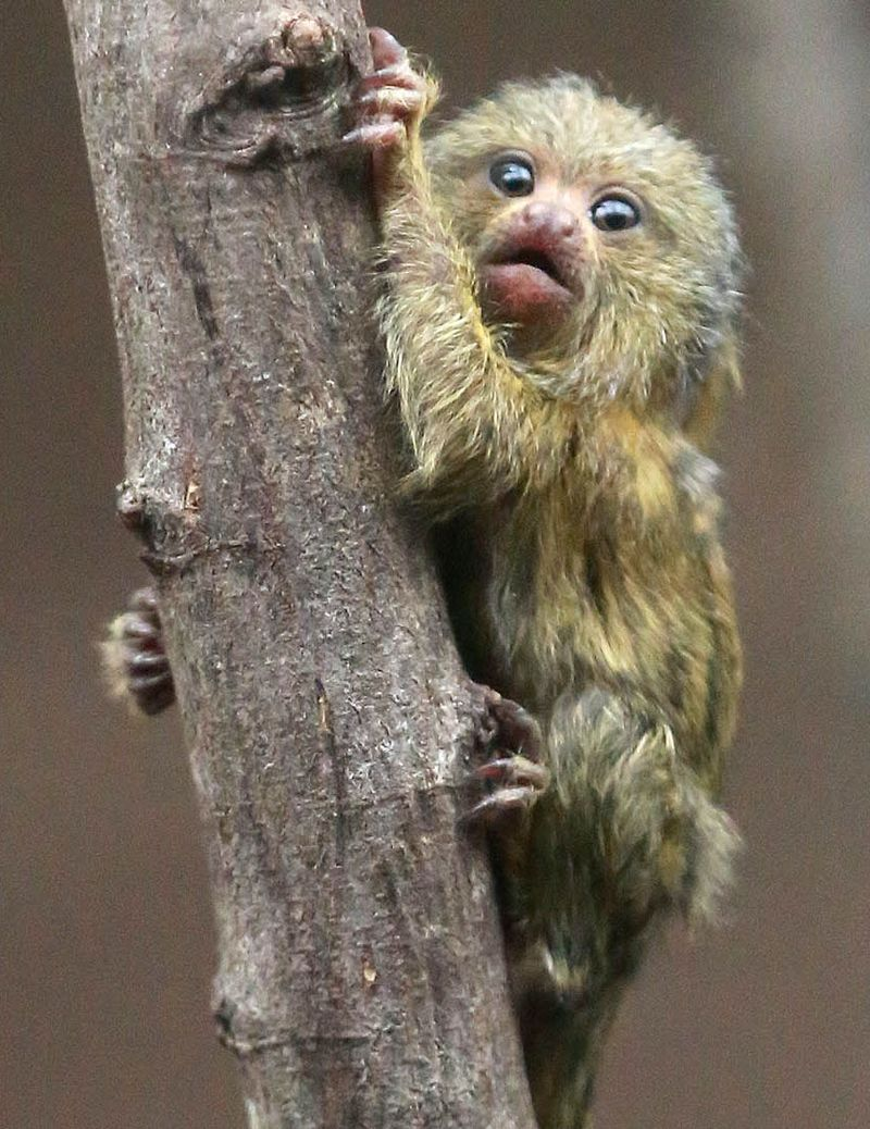 (3)  Pygmy marmosets are the smallest member of the primate family and adults only weigh between four and five ounces when fully grown!