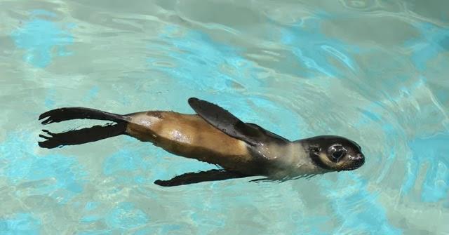 Mammals_Chi_swimming