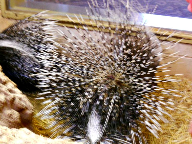 5 porcupine