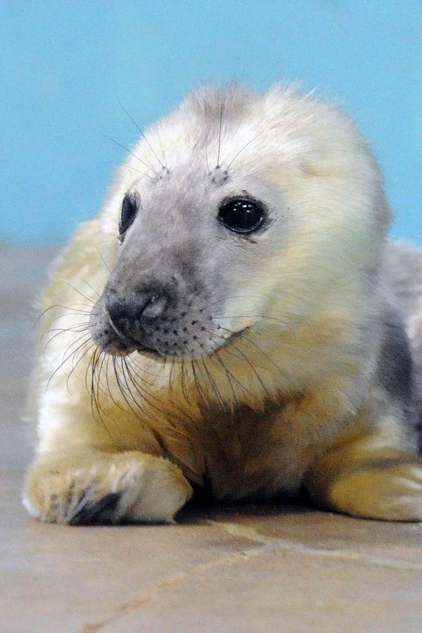 Baby Born At 25 Weeks: New Year Brings A Grey Seal Pup To Brookfield Zoo