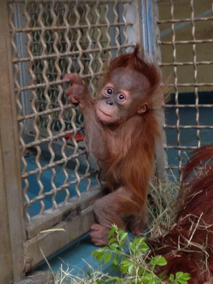 6 orangutan