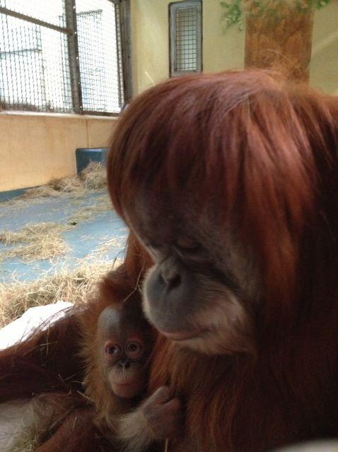 8 orangutan