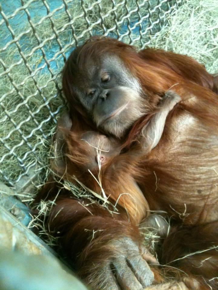 9 orangutan