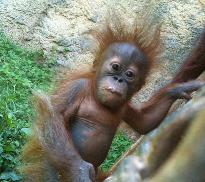 13 orangutan