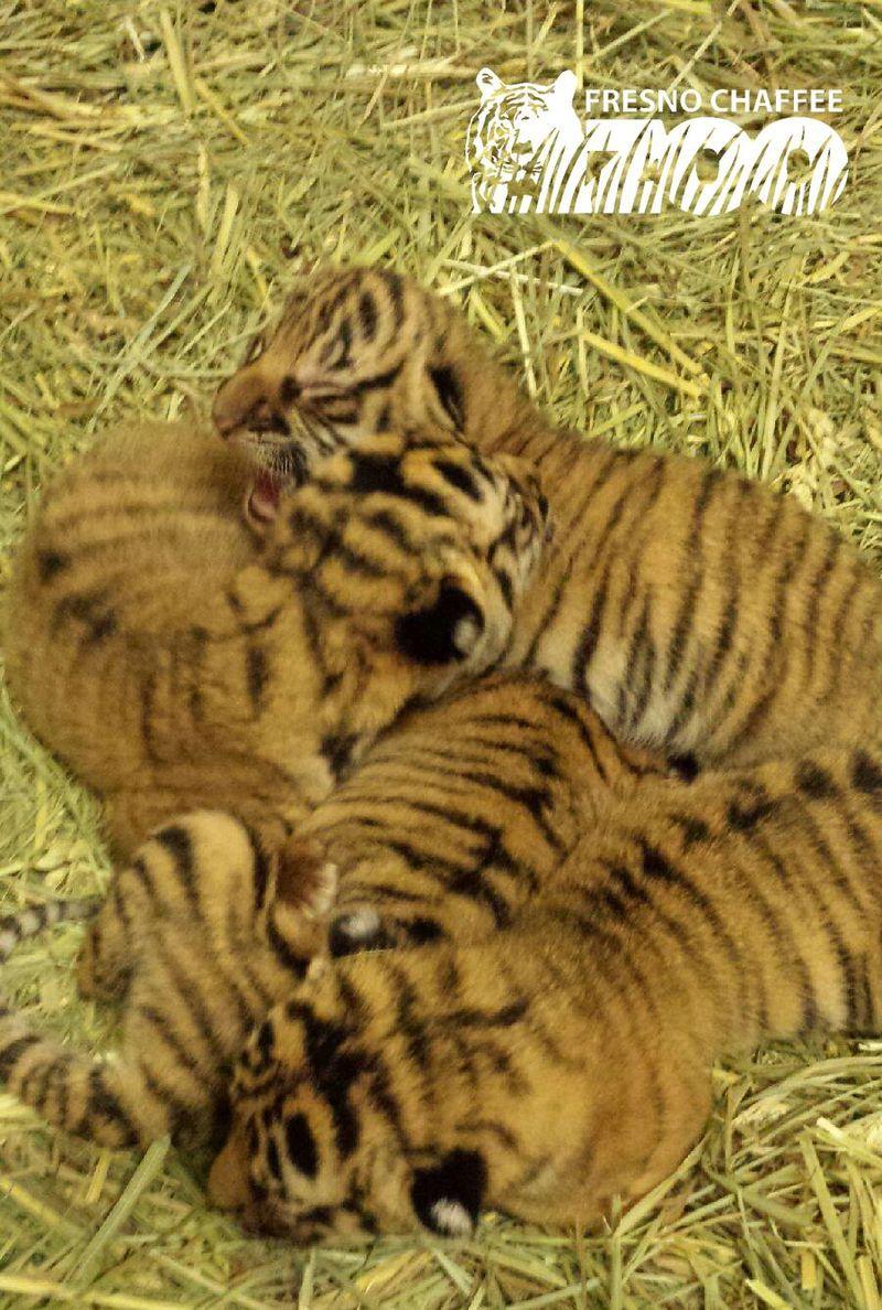 4 tiger