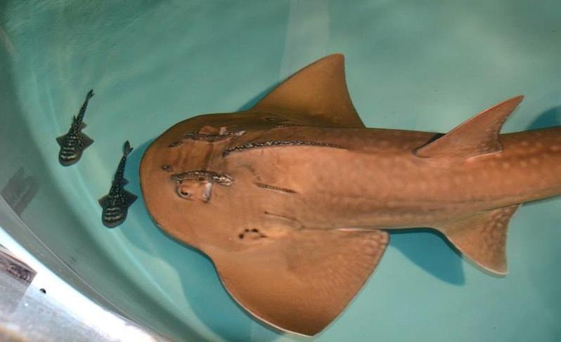 2 sharkray
