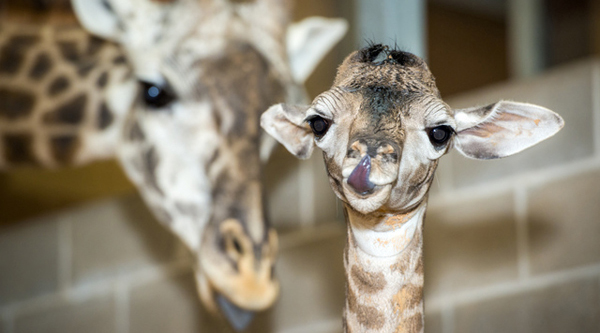Baby-Giraffe-Houston-Zoo006