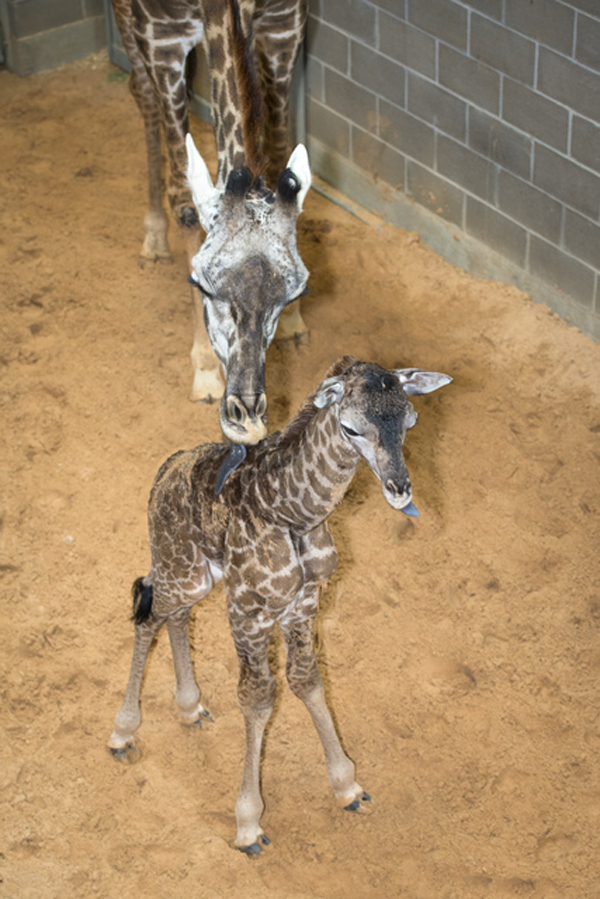 Baby-Giraffe-Houston-Zoo001
