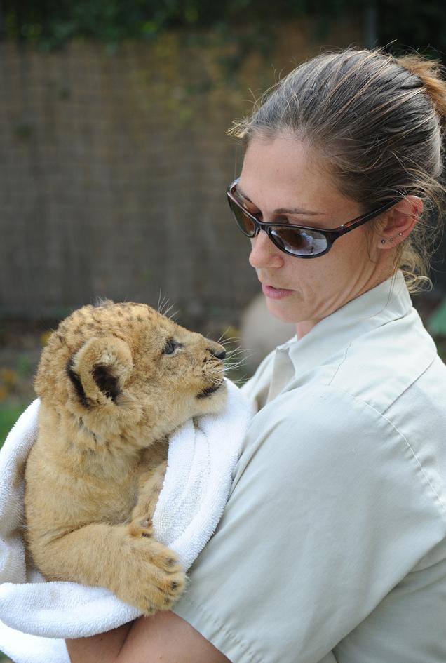 Lion Cub D