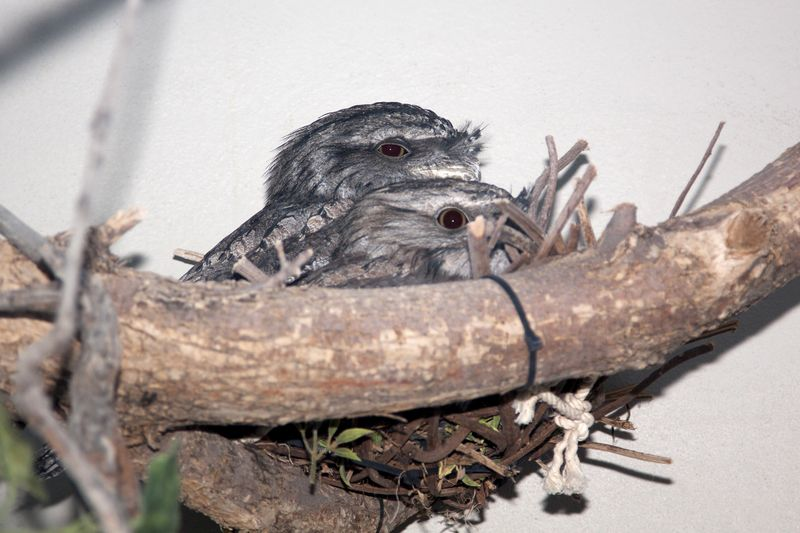 4 tawny frogmouth