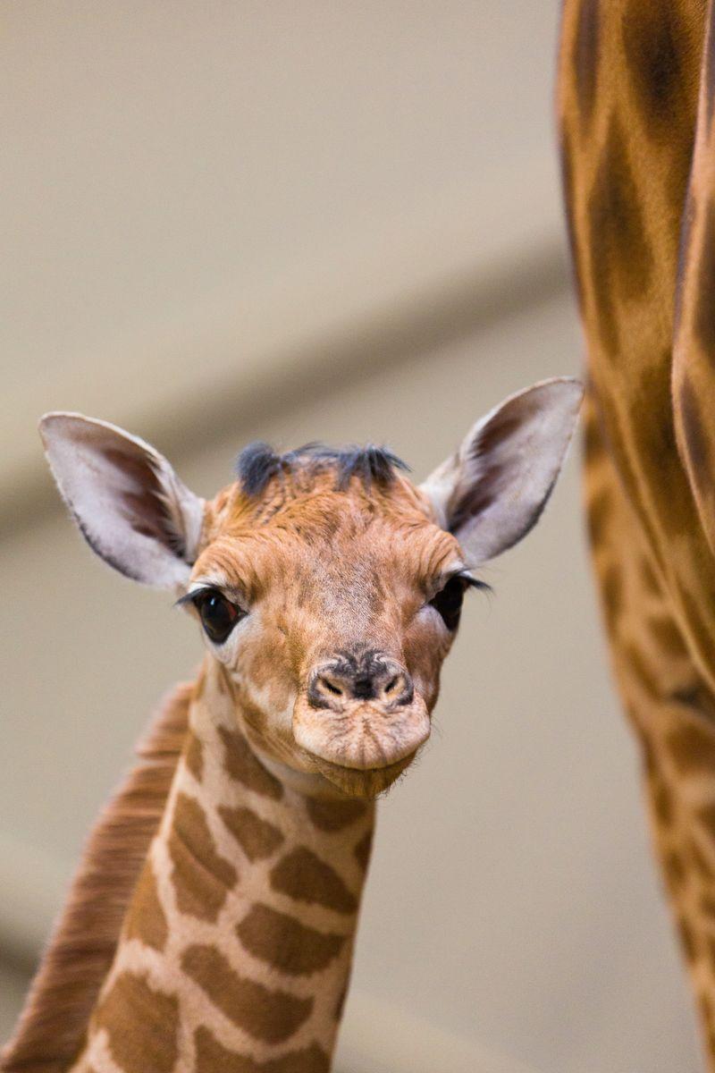 Giraf2