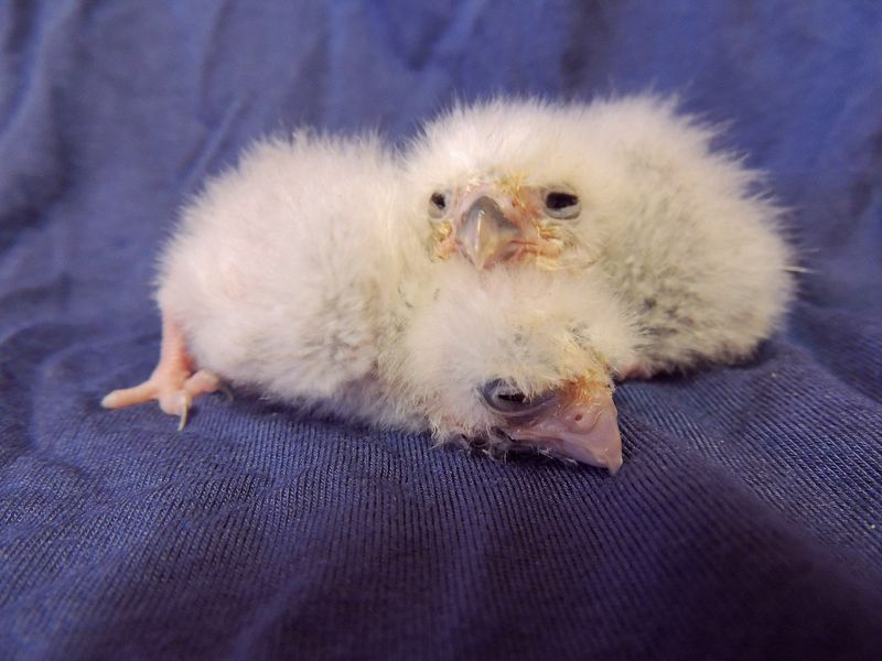 Falcon chicks ages 12 and 7 days old - credit Sarah Woodruff