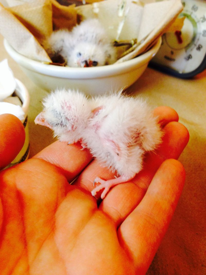 African pygmy falcon chicks, ages 7 and 12 days old - credit Jess Horens...