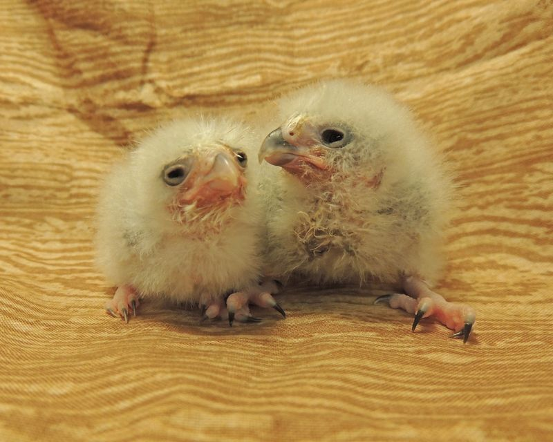 Falcon chicks ages 13 and 8 days old - credit Sarah Woodruff