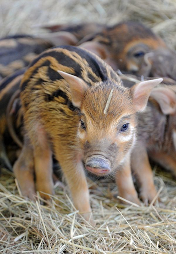 African Red River Hog Piglets Are A First For Zoo Miami