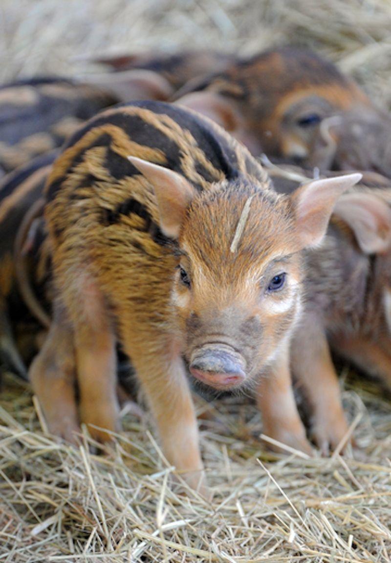 1 hog