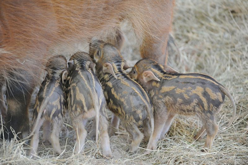 8 hog