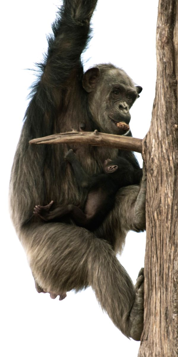 Dallas Zoo Welcomes A New Chimpanzee Baby Zooborns