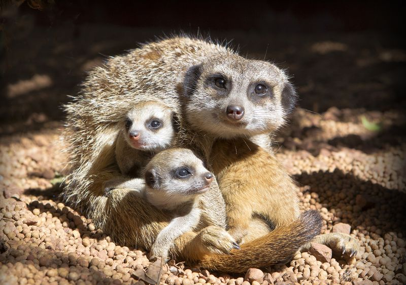 Perth Zoo Meerkat kits2