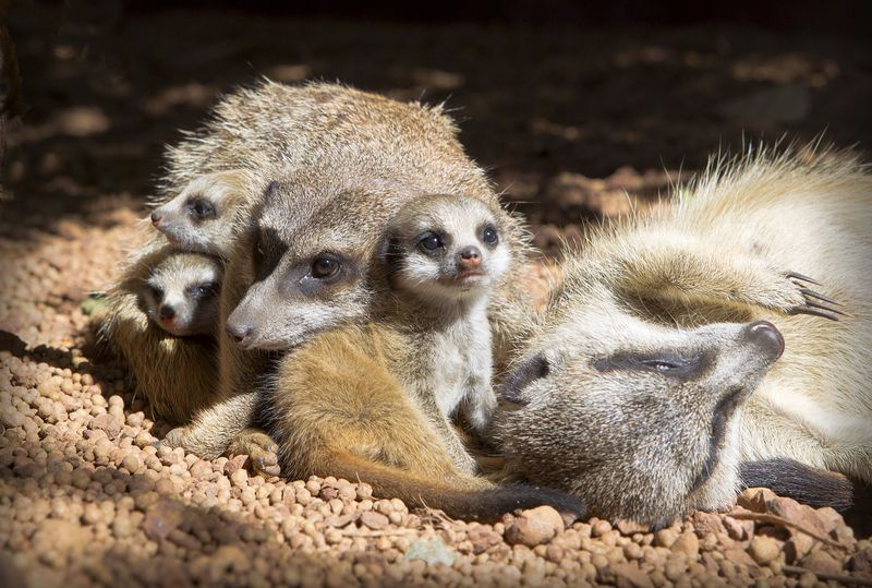 Perth Zoo Meerkat kits3