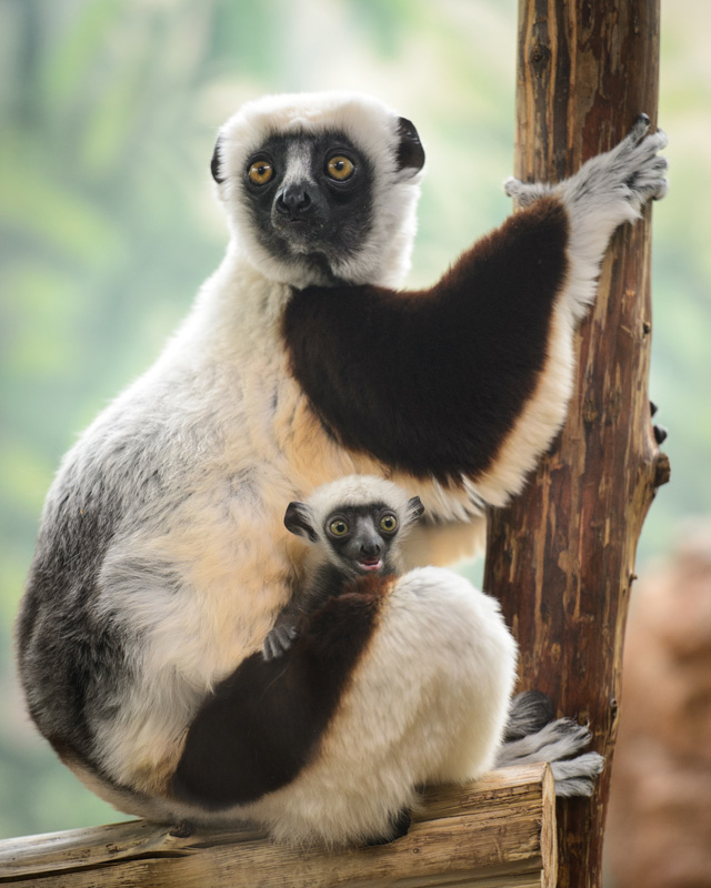 a baby sifaka joins the family at saint louis zoo