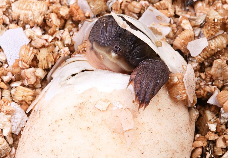 Australian_snapping_turtle20140226_0044