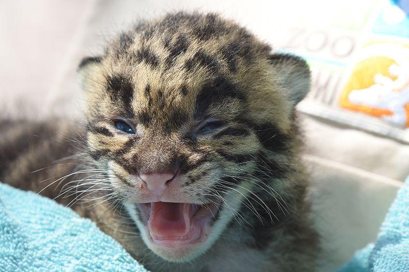 1 leopard