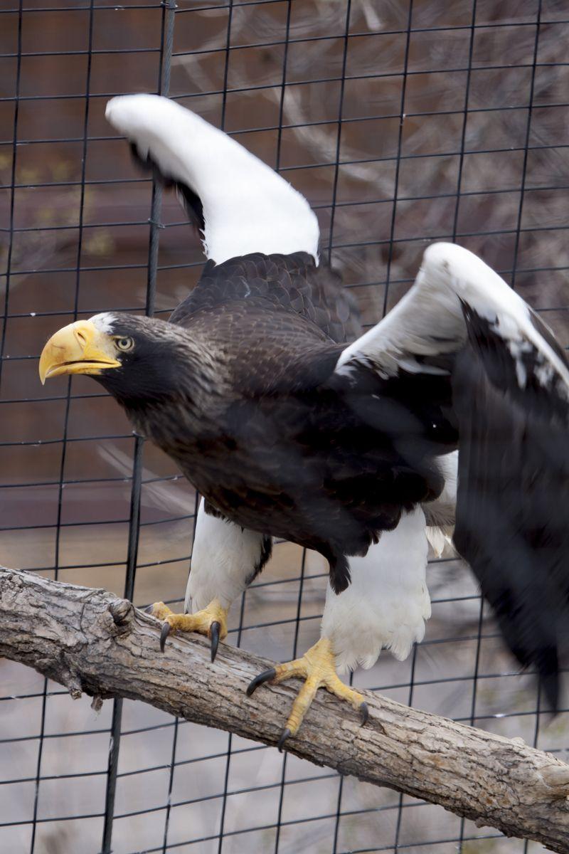 Stellers_sea_eagle_chick03